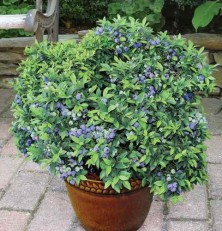 Jual Dwarf Blueberry seeds