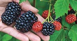 Jual Giant Blackberry seeds