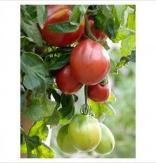 Pink Oxheart Tomato seeds