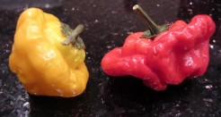 JAMAICAN RED SCOTCH BONNET Seeds