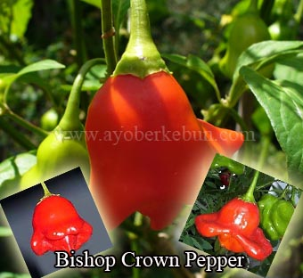 bishop-crown-pepper