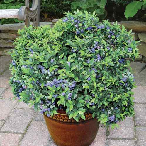 dwarf blueberry