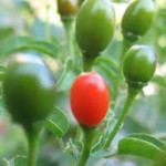 Pequin Chile Pepper Seeds